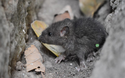 Rat Poisons And Your Pet